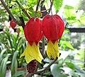 斑葉蔓性風鈴花 Abutilon megapotamicum variegatum -比利時 Leuven Botanical Garden, Belgium- (9252407723).jpg