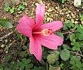 木槿屬 Hibiscus genevii x liliflorus -日本大阪鮮花競放館 Osaka Sakuya Konohana Kan, Japan- (40320280150).jpg