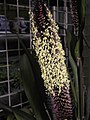 梁 Setaria italica -香港動植物公園 Hong Kong Botanical Garden- (9216102282).jpg