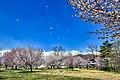 白馬村海洋センターの桜01.jpg