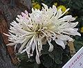 菊花-早粉盤 Chrysanthemum morifolium -中山小欖菊花會 Xiaolan Chrysanthemum Show, China- (11961467253).jpg