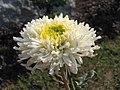 菊花-白沙玉衣 Chrysanthemum morifolium 'White Sand Jade Coating' -中山小欖菊花會 Xiaolan Chrysanthemum Show, China- (12010223563).jpg