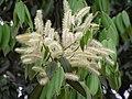 華南錐(毛葉栲栗) Castanopsis concinna -香港西貢獅子會自然教育中心 Saikung, Hong Kong- (9240262558).jpg