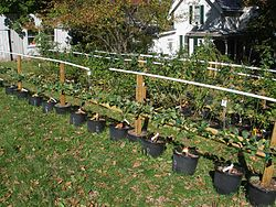 definition of espalier