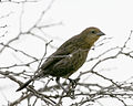 060408 shiny cowbird female ER.jpg