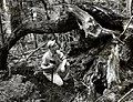 1953. Windthrow used for D. pseudotsugae population studies. Heavy Poria weirii infection in root over James Trappe's head. Packwood, Washington. (33456739326).jpg