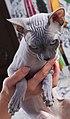 1 adult cat Sphynx. img 016.jpg