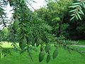 2004-09-05-TSUGA-DU-CANADA-fruit.jpg