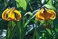 2009 Sun Peaks Summer - Tiger Lillies (Lillium columbianum) - (28120028264).jpg