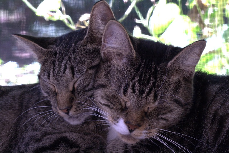 File:2010-09-13 Two tabby cats sleeping together.tiff