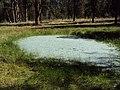 2010. Pine butterfly adults on water. Eastern Oregon. (37451643392).jpg