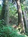 2010 Cryptomeria japonica, Hakone, Japan 4.jpg