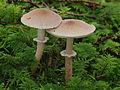 2012-10-14 Cystoderma carcharias 1.jpg