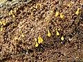 2013-03-07 Hemitrichia calyculata (Speg.) M.L. Farr 410819.jpg