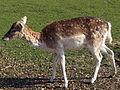 20130504 Maastricht Stadspark 13 Deer.JPG