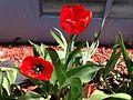 2014-05-02 14 14 34 Tulips in Elko, Nevada.JPG