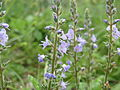 20140518Veronica officinalis.jpg