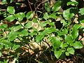 20140609Vaccinium myrtillus1.jpg