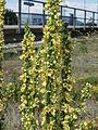 20140716Verbascum nigrum2.jpg