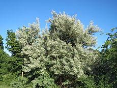 20150604Elaeagnus angustifolia3.jpg