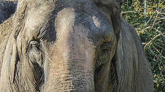 20150930 Aziatische olifant Circus Franz Renz International Rijksstraatweg Haren Gn NL.jpg