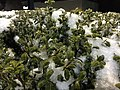 2016-02-16 01 58 26 Snow and freezing rain on an evergreen bush's foliage at night at the Franklin Farm Village Shopping Center in the Franklin Farm section of Oak Hill, Fairfax County, Virginia.jpg