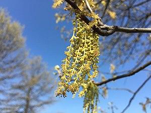 Quercus palustris - Catkins of Pin Oak