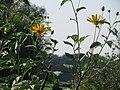 20160909Helianthus tuberosus1.jpg