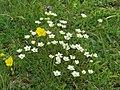 2017-06-25 (24) Arenaria ciliata (fringed sandwort) at Schneeberg, Austria.jpg