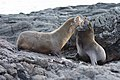 20180808-Galápagos fur seal-14 at Santiago (9799).jpg