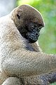 2019-10-06 Grey Woolly Monkey 03.jpg
