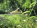 20190830Persicaria lapathifolia1.jpg