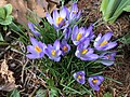 2020-02-16 14 20 37 Crocus tommasinianus blooming along Tranquilty Court in the Franklin Farm section of Oak Hill, Fairfax County, Virginia.jpg
