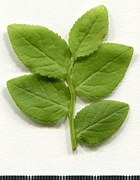 2020. Herbarium. Vaccinium myrtillus. img-017.jpg