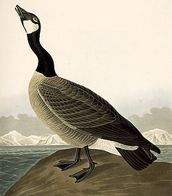 277 Hutchins's Barnacle Goose (cropped).jpg