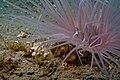 31-EastTimor-Early-Dive Tasi-Tolu 16 (Cleaner Anemone Shrimps)-APiazza.JPG