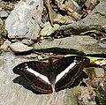 347紫單帶蛺蝶5(游釗敏攝) (12944588815).jpg
