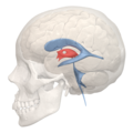 3rd ventricle - 04.png