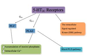 5-HT2C receptor agonist - Image: 5 HT2C receptor pathway