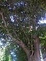 68-101-5005 Бук червоний, Хмельницький, Театральна, 24.jpg