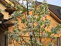 6Cherry blossoms.JPG