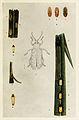 72-Indian-Insect-Life - Harold Maxwell-Lefroy - Phidodonta-modesta.jpg