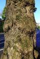 AL-D-0088 Platanus x acerifolia alley on Pigageallee, Benrath. Reader-02.png