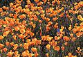 AZ poppy field 2010.jpg