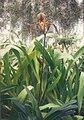 A and B Larsen orchids - Paphiopedilum stonei x haynaldianum 468-14.jpg