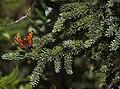 A butterfly lands on a spruce tree near the McKinley Bar Trail (5ab9a592-bdf7-49a3-a34e-c068e72475cf).JPG