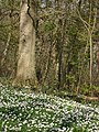 A carpet of wood anemones in Coxhill woods - geograph.org.uk - 407137.jpg