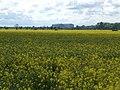 A field of rape near Hill Farm - geograph.org.uk - 426132.jpg