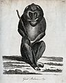 A great baboon sitting on the ground holding a stick. Etchin Wellcome V0020903.jpg