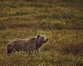A grizzly bear eats berries north of the park road, near mile 19, on August 23, 2019. (3bab2f61-cd1c-4f4b-8c29-81f53b4dfc80).JPG